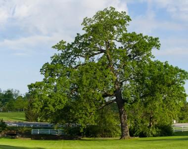 Le chêne à gros fruits, Quercus macrocarpa