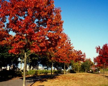 Le chêne rouge d'Amérique