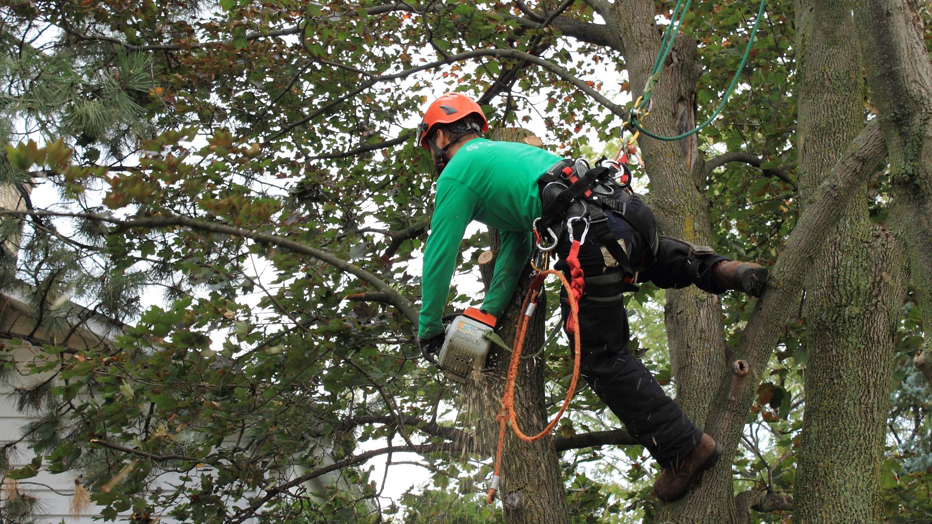 Arboriculture - Élagage d'un arbre