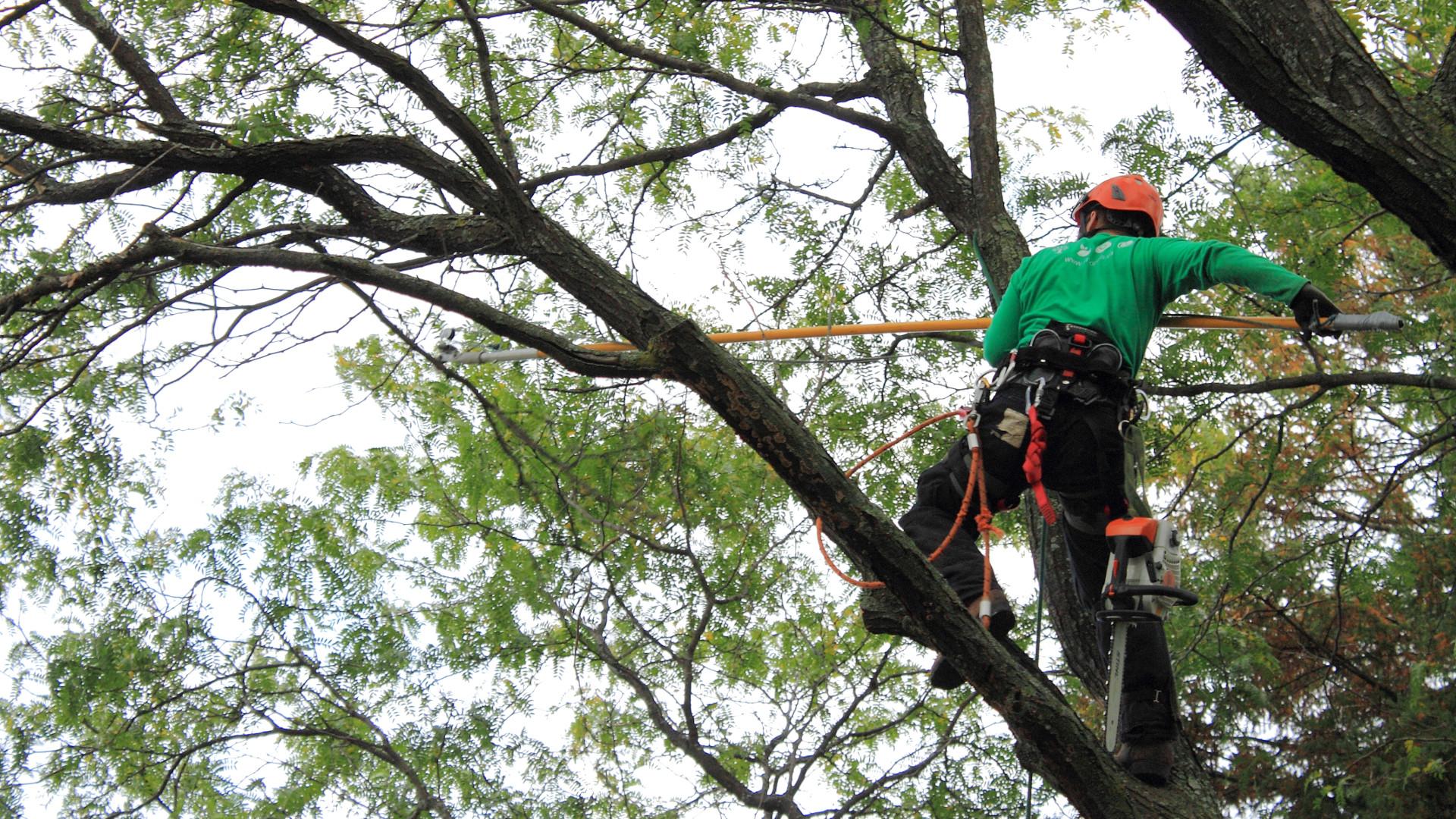 Arboriculture - Émondage d'un arbre