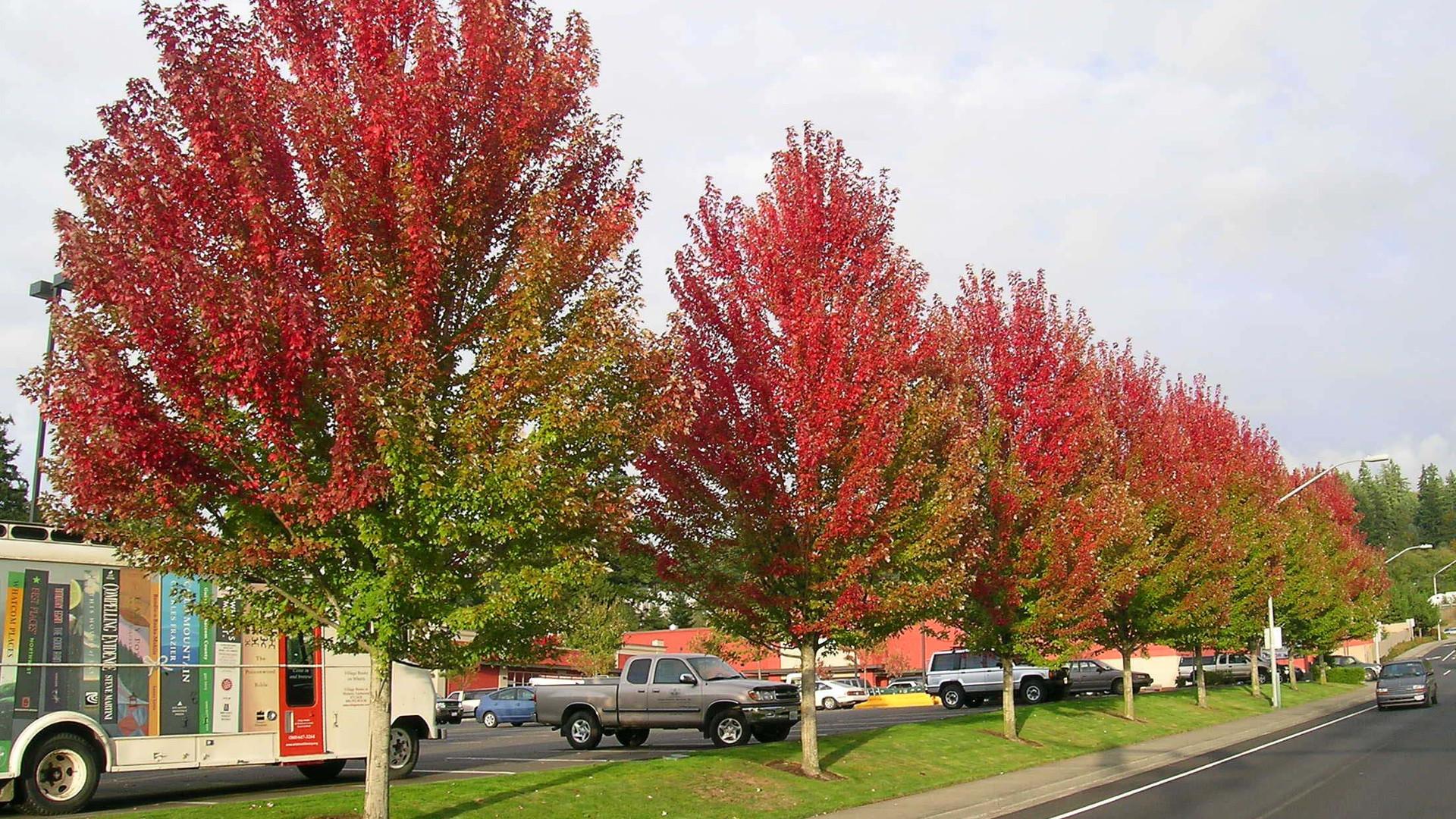 Érable argenté - Acer saccharinum
