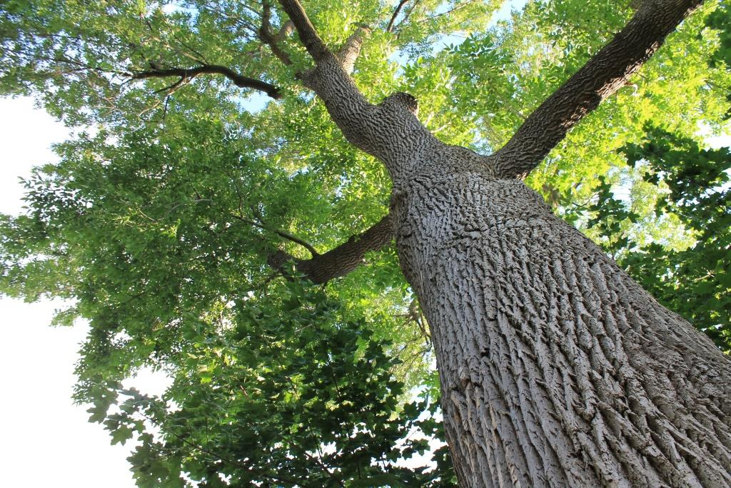 Frêne - Bois de frêne