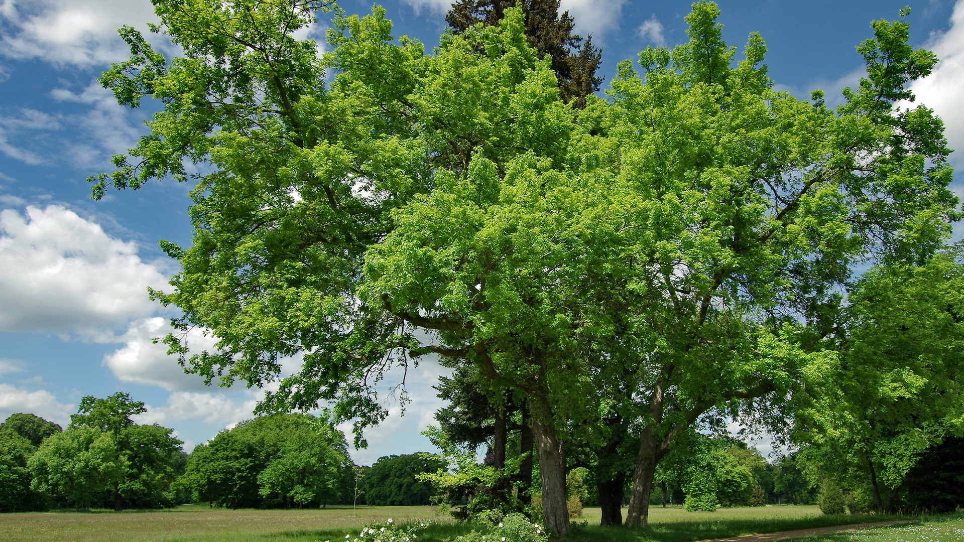 Le micocoulier occidental - Celtis occidentalis