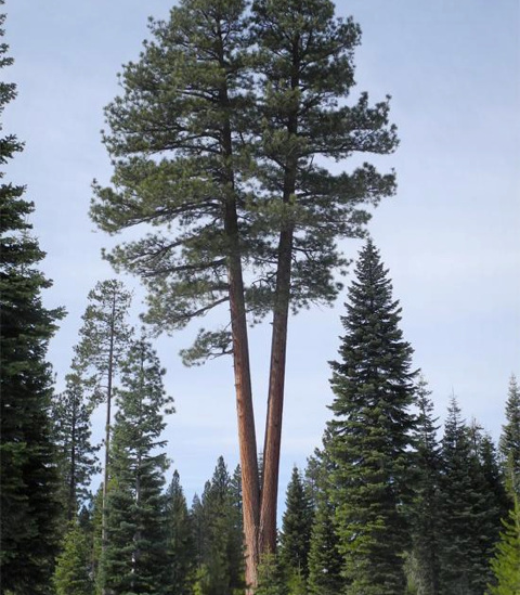Problème d'arbre - Têtes codominantes