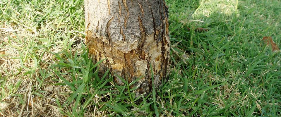 Blessure à une arbre - Accident mécanique