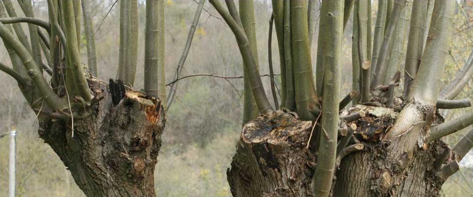 Gourmand - Étêtage d'un arbre