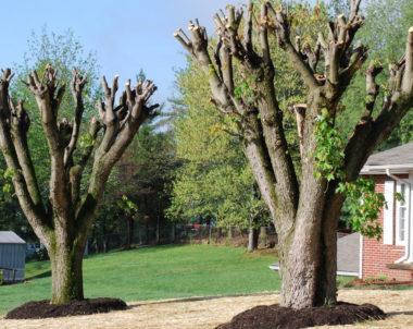 Mauvaises pratiques arboricoles - Étêtage