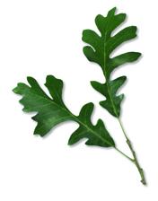 Chêne à gros - Fruits feuilles simples alternes lobe arrondis creux
