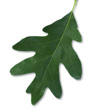 Chêne blanc - Feuilles simples alternes, lobe arrondis