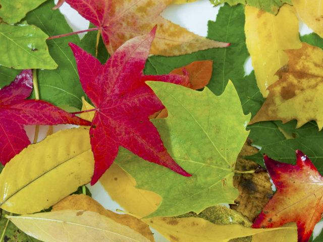 Comment identifier un arbre avec ses feuilles