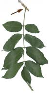 Feuillu - Feuilles composées folioles et pétiole