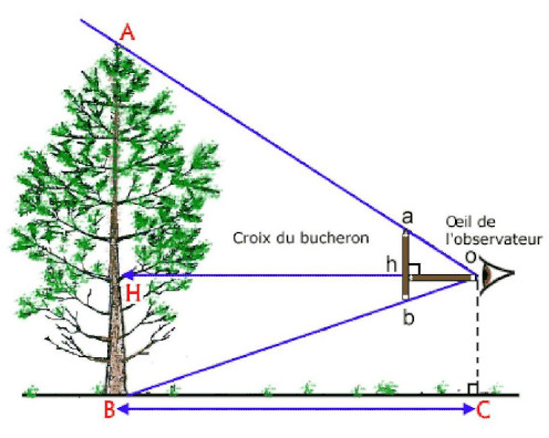 Mesurer un arbre avec la croix du bûcheron