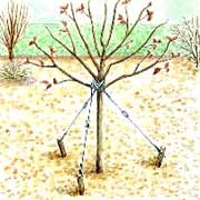 Tuteurage d'un arbre avec fils de fer