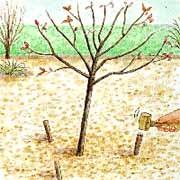 Tuteurage d'un arbre avec piquet de bois