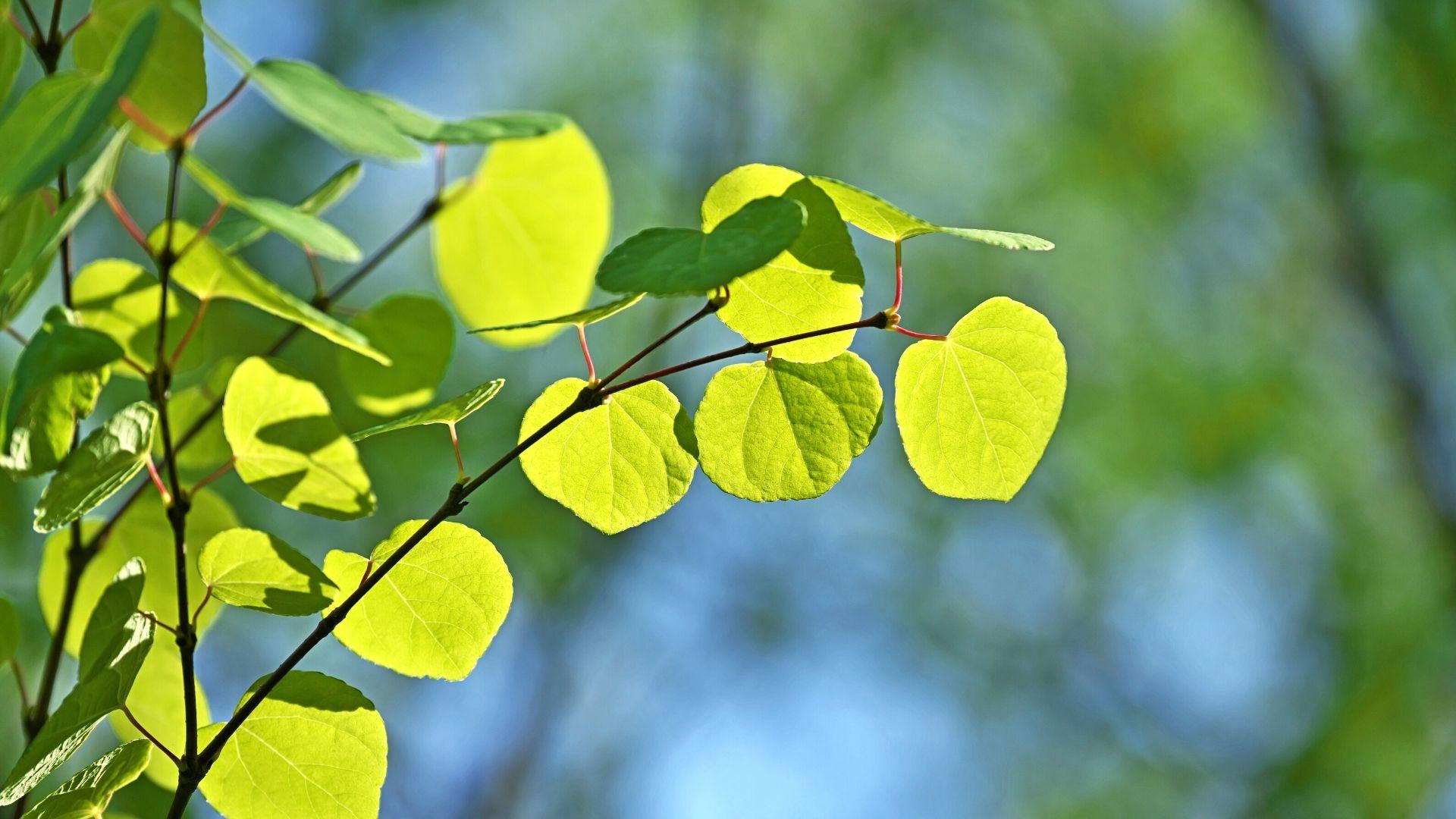 L'arbre de Katsura se nomme aussi arbre caramel