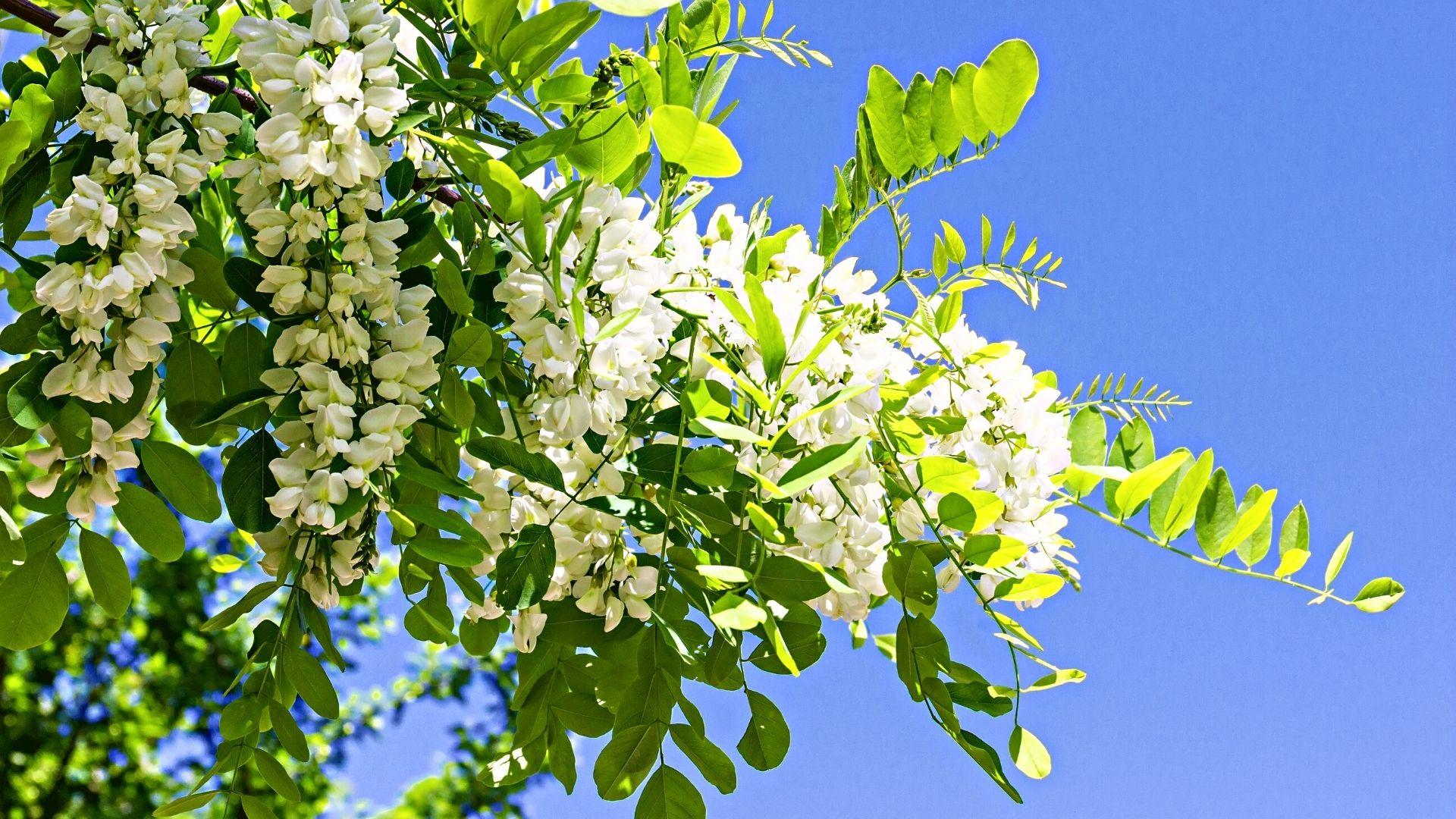 Les belles grappes de fleurs blanches pendantes et parfumées au miel du robinier