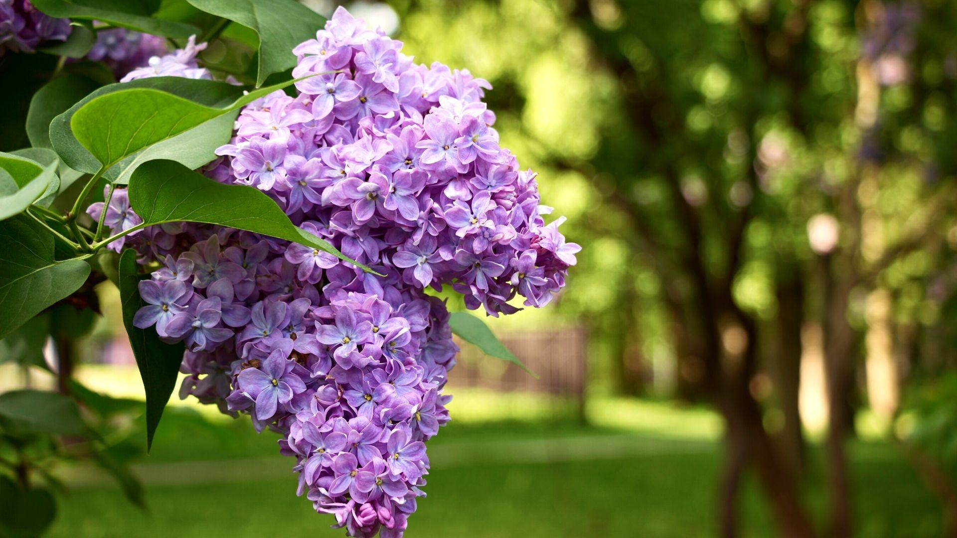 Le lilas est magnifique en bordure d'une maison