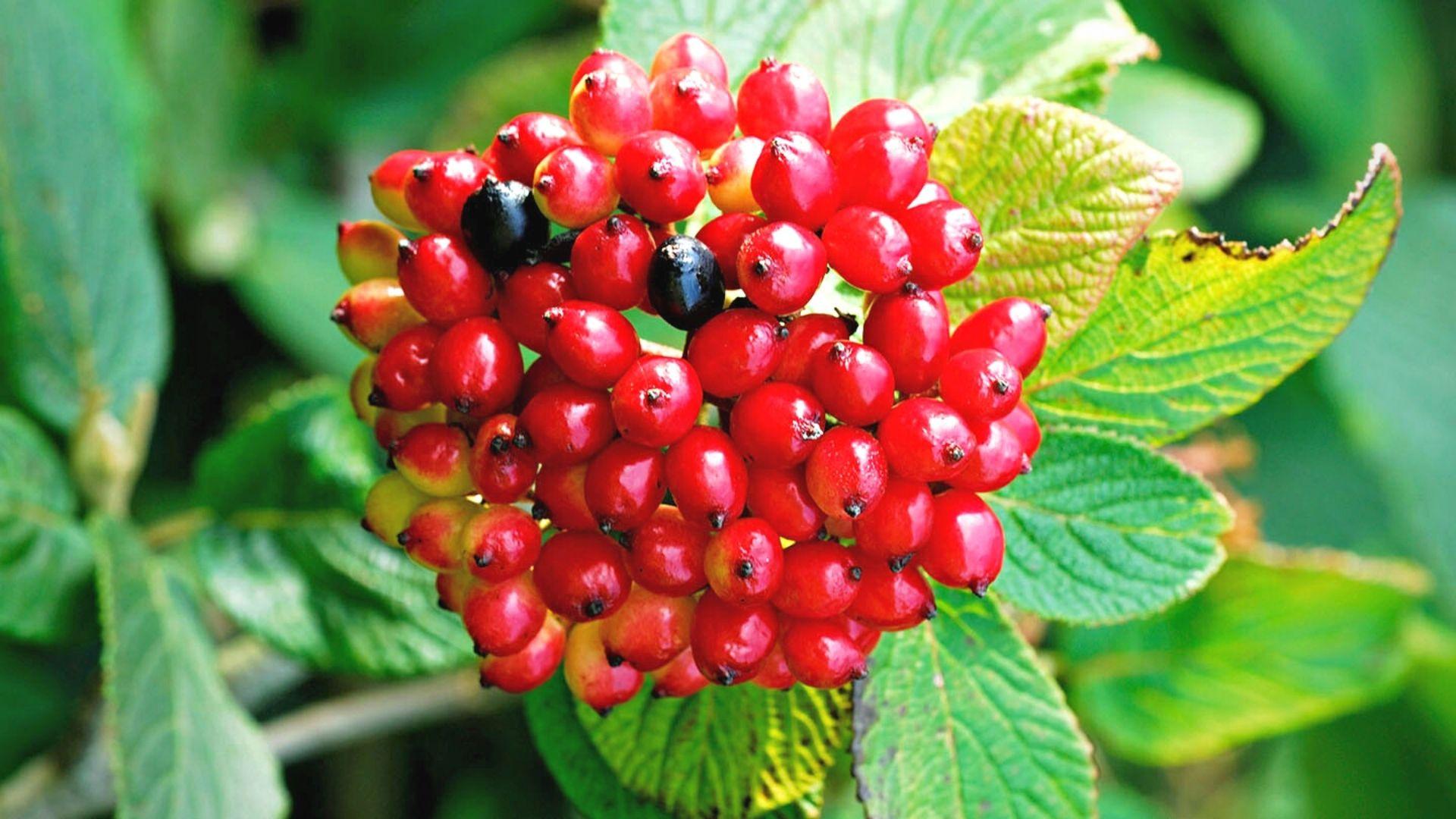 Viorne commune - Viburnum lantana Mohican