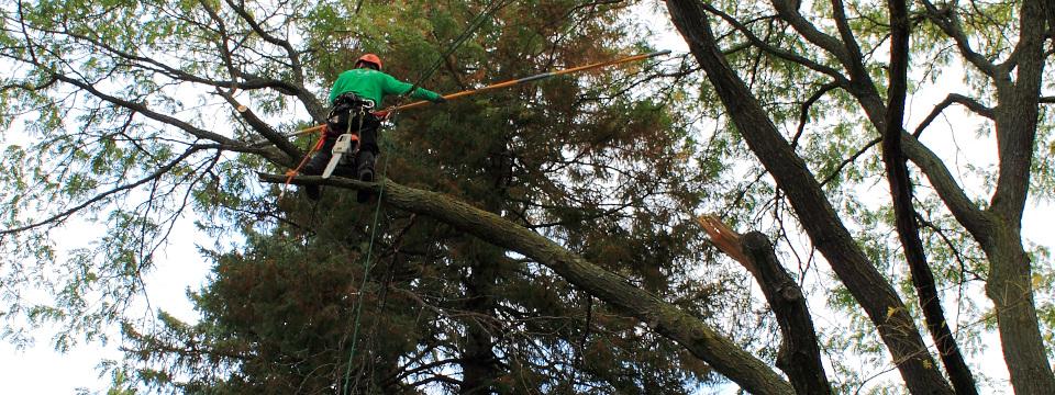 Lagage d 39 arbre au qu bec lagueur mondage des arbres for Prix de l elagage d un arbre